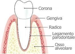 anatomia-parodontale-1